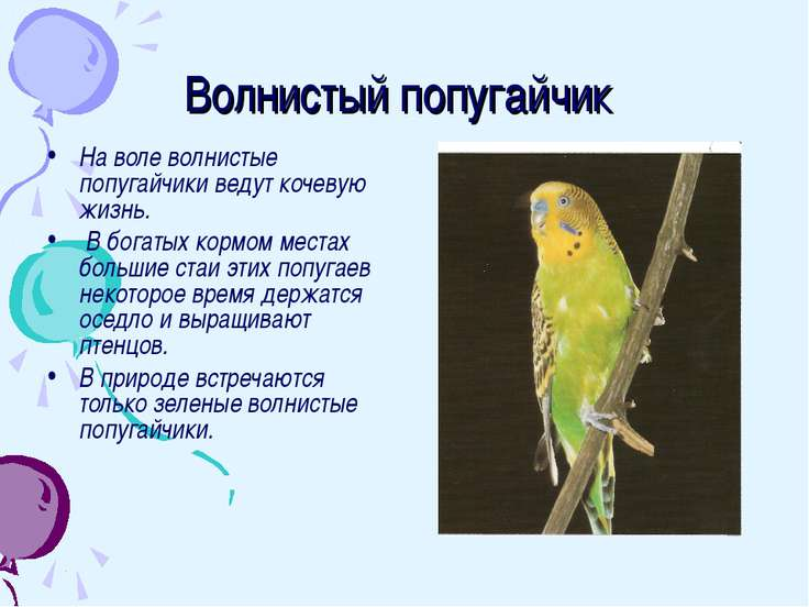 Волнистый попугайчик На воле волнистые попугайчики ведут кочевую жизнь. В бог...