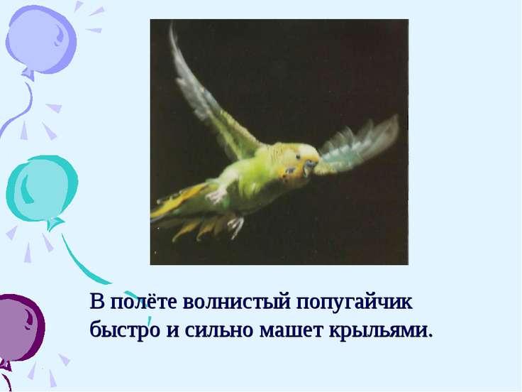 В полёте волнистый попугайчик быстро и сильно машет крыльями.