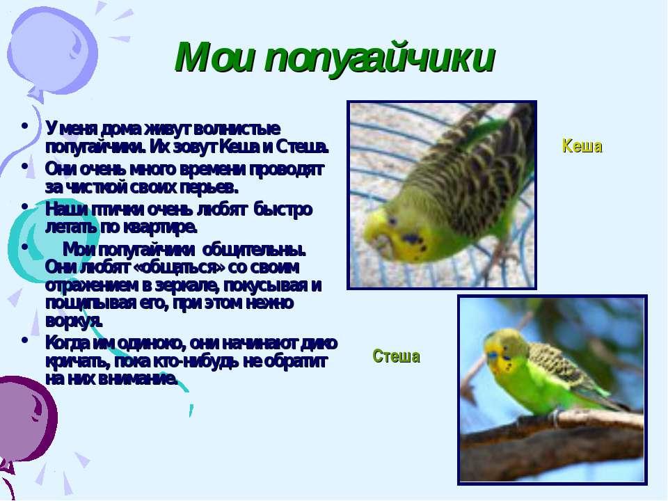 Мои попугайчики У меня дома живут волнистые попугайчики. Их зовут Кеша и Стеш...
