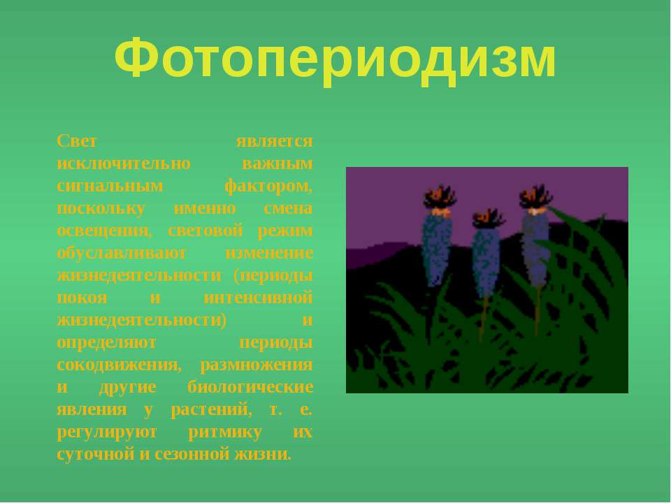 Фотопериодизм Свет является исключительно важным сигнальным фактором, посколь...