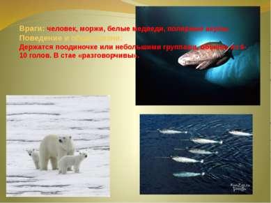 Враги: человек, моржи, белые медведи, полярные акулы. Поведение и образ жизни...