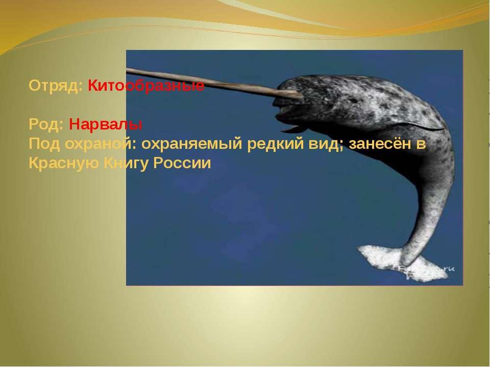 Отряд: Китообразные Род: Нарвалы Под охраной: охраняемый редкий вид; занесён ...