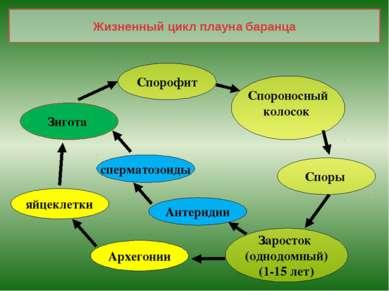 Жизненный цикл плауна баранца Спорофит Спороносный колосок Споры Заросток (од...