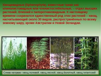 Хвощевидные (Sphenophyta), известные также как клинолистовидные или членистос...