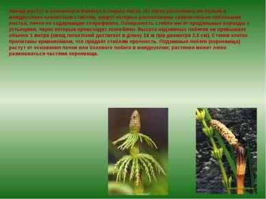 Хвощи растут в основном в болотах и сырых лесах. Их легко распознать по полым...