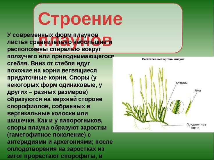 Строение плаунов У современных форм плаунов листья сравнительно небольшие и р...