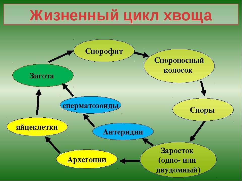 Жизненный цикл хвоща Спорофит Спороносный колосок Споры Заросток (одно- или д...
