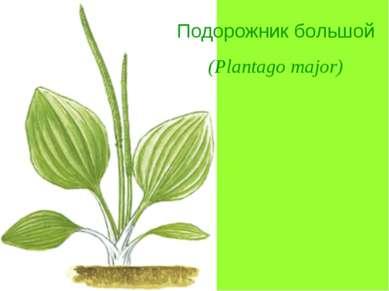 Подорожник большой (Plantago major)