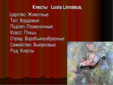 Клесты Loxia Linnaeus, Царство: Животные Тип: Хордовые Подтип: Позвоночные Кл...