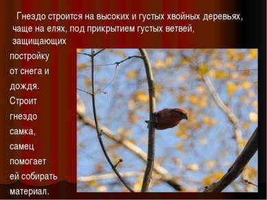 Гнездо строится на высоких и густых хвойных деревьях, чаще на елях, под прикр...