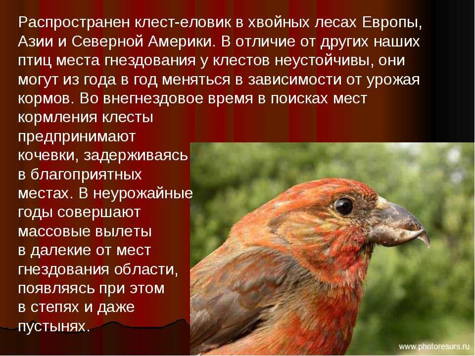 Распространен клест-еловик в хвойных лесах Европы, Азии и Северной Америки. В...