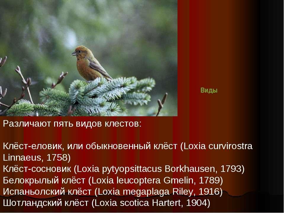 Различают пять видов клестов: Клёст-еловик, или обыкновенный клёст (Loxia cur...