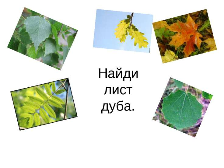 Найди лист дуба.