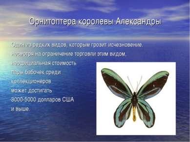 Орнитоптера королевы Александры Один из редких видов, которым грозит исчезнов...