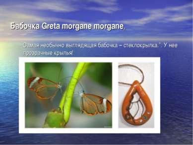 Бабочка Greta morgane morgane, Самая необычно выглядящая бабочка – стеклокрыл...