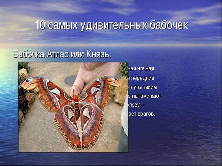 10 самых удивительных бабочек Бабочка Атлас или Князь. самая крупная ночная б...