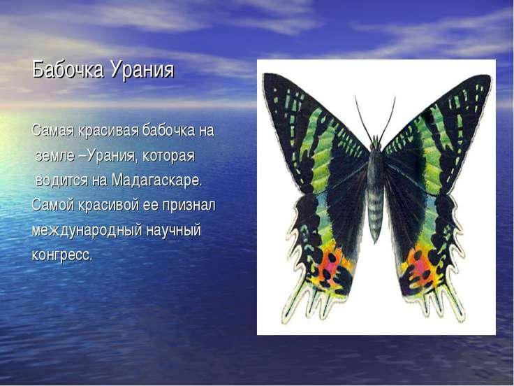 Бабочка Урания Самая красивая бабочка на земле –Урания, которая водится на Ма...