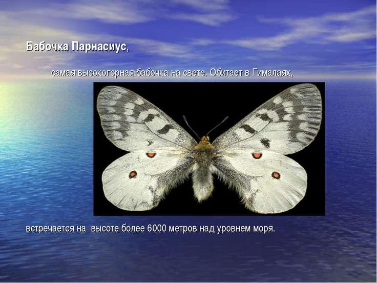 Бабочка Парнасиус, самая высокогорная бабочка на свете. Обитает в Гималаях, в...