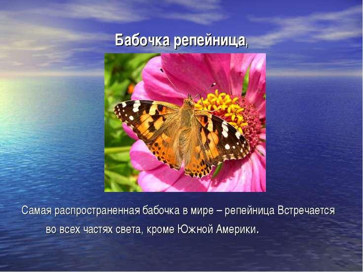 Бабочка репейница, Самая распространенная бабочка в мире – репейница Встречае...