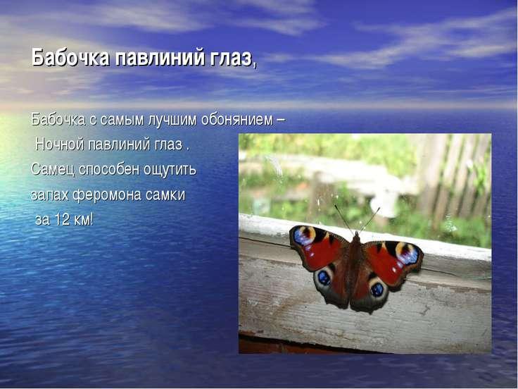 Бабочка павлиний глаз, Бабочка с самым лучшим обонянием – Ночной павлиний гла...