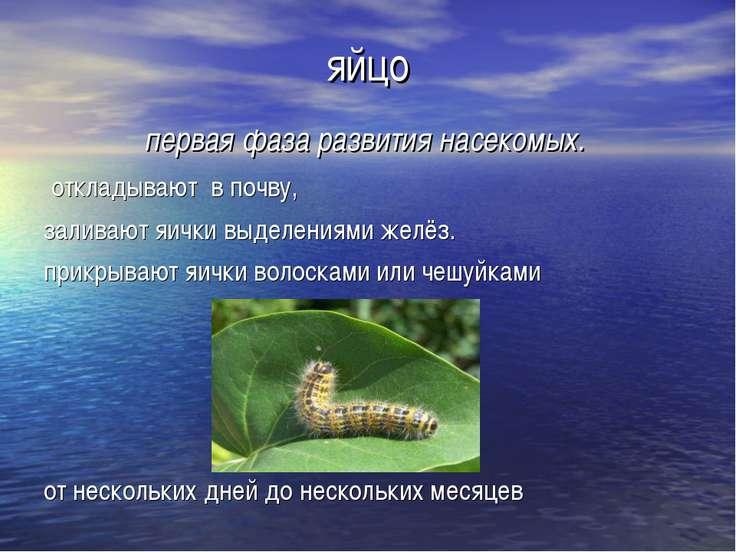 яйцо первая фаза развития насекомых. откладывают в почву, заливают яички выде...