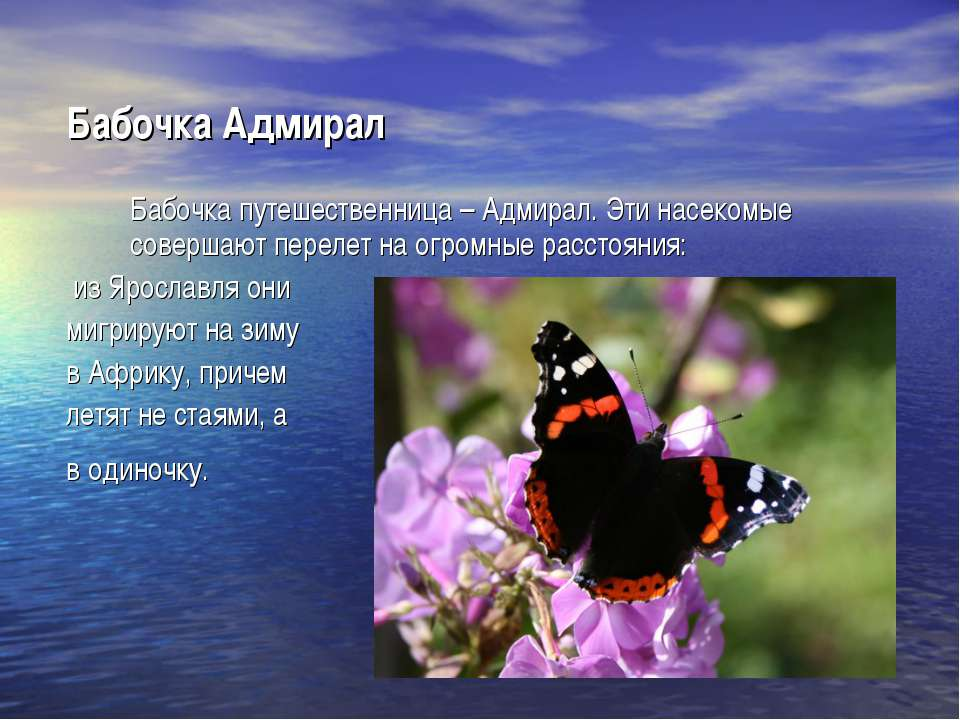 Бабочка Адмирал Бабочка путешественница – Адмирал. Эти насекомые совершают пе...