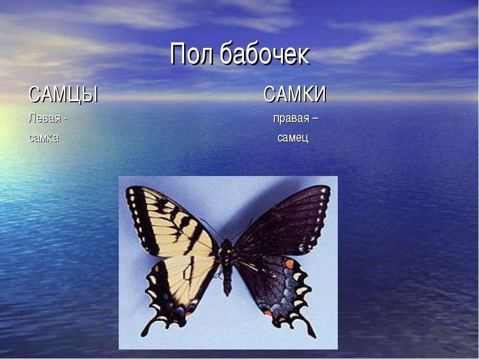 Пол бабочек САМЦЫ САМКИ Левая - правая – самка самец