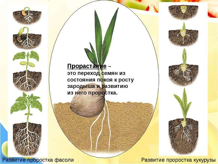 Развитие проростка фасоли Развитие проростка кукурузы Прорастание – это перех...