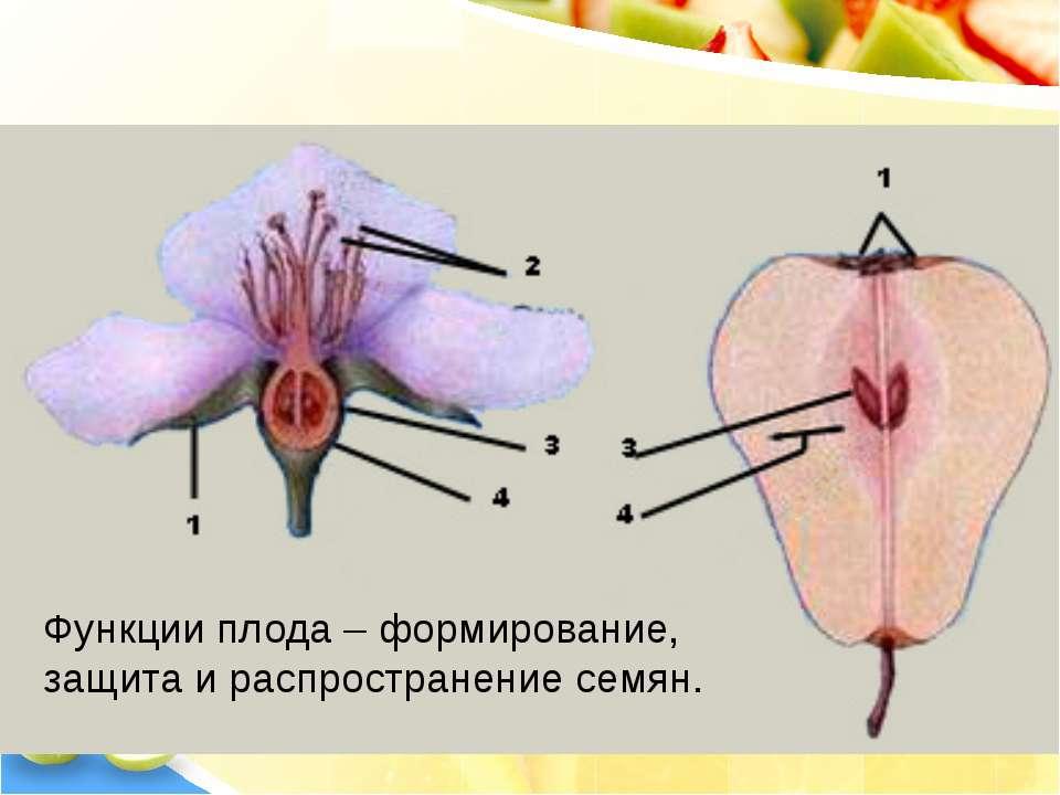 Из цветка образуется плод Функции плода – формирование, защита и распростране...