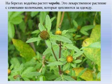 На берегах водоёма растет череда. Это лекарственное растение с семенами-колюч...