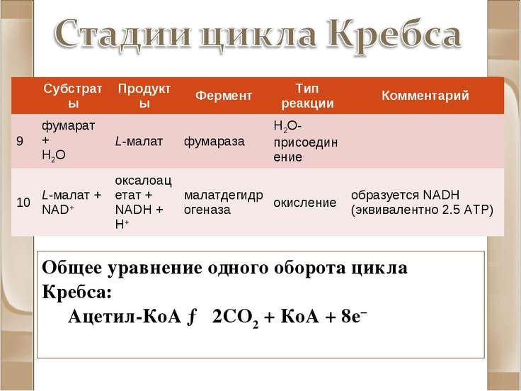 Общее уравнение одного оборота цикла Кребса: Ацетил-КоА → 2CO2 + КоА + 8e− Су...