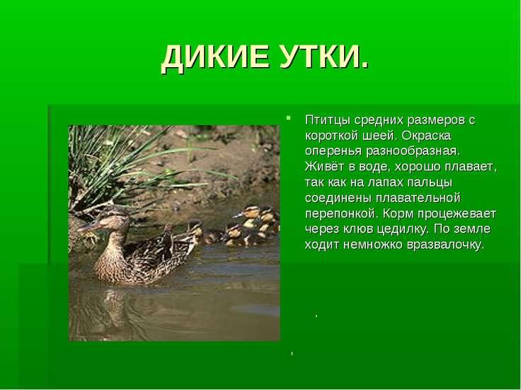 ДИКИЕ УТКИ. Птитцы средних размеров с короткой шеей. Окраска оперенья разнооб...