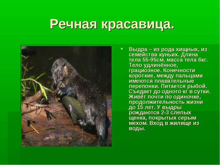 Речная красавица. Выдра – из рода хищных, из семейства куньих. Длина тела 55-...
