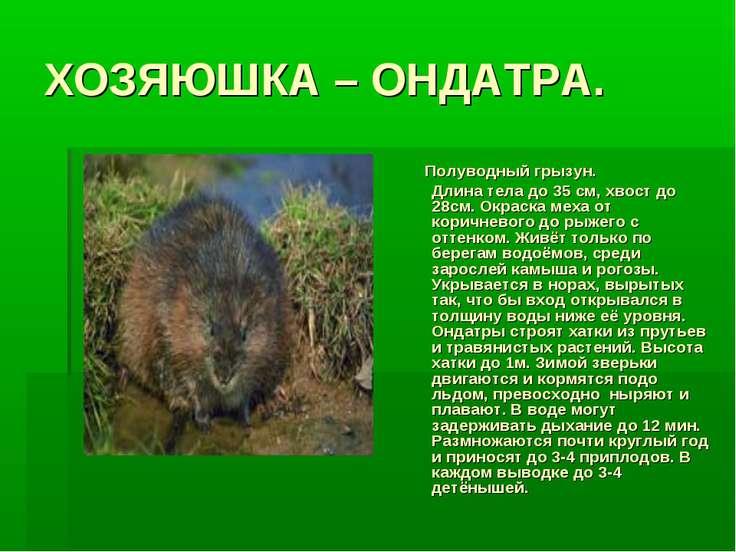 ХОЗЯЮШКА – ОНДАТРА. Полуводный грызун. Длина тела до 35 см, хвост до 28см. Ок...