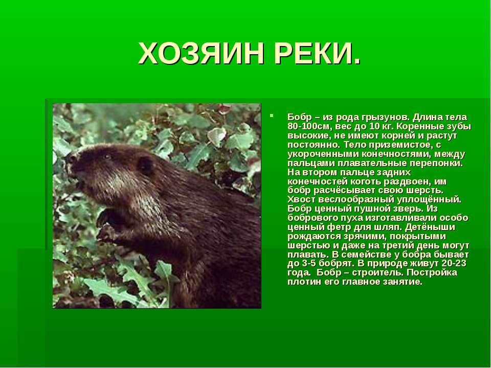 ХОЗЯИН РЕКИ. Бобр – из рода грызунов. Длина тела 80-100см, вес до 10 кг. Коре...