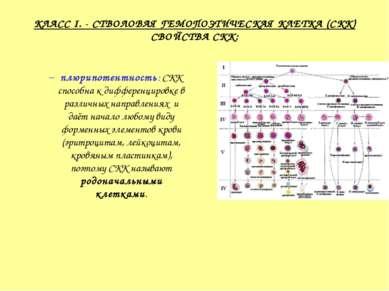 КЛАСС I. - СТВОЛОВАЯ ГЕМОПОЭТИЧЕСКАЯ КЛЕТКА (СКК) СВОЙСТВА СКК: плюрипотентно...