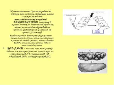 Мультипотентные Коммитированные клетки, как и клетки следующего класса – такж...