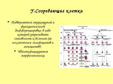 Y.Созревающие клетки Подвергаются структурной и функциональной дифференцировк...