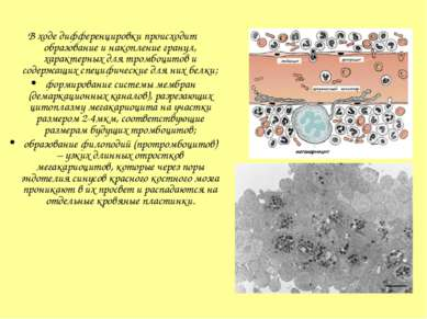 В ходе дифференцировки происходит образование и накопление гранул, характерны...