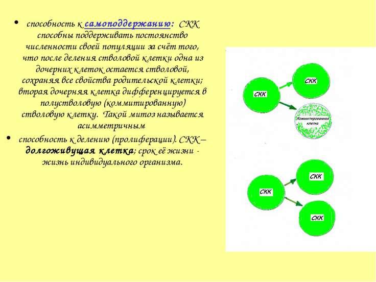 способность к самоподдержанию: СКК способны поддерживать постоянство численно...