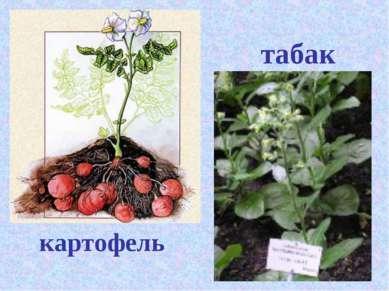 картофель табак