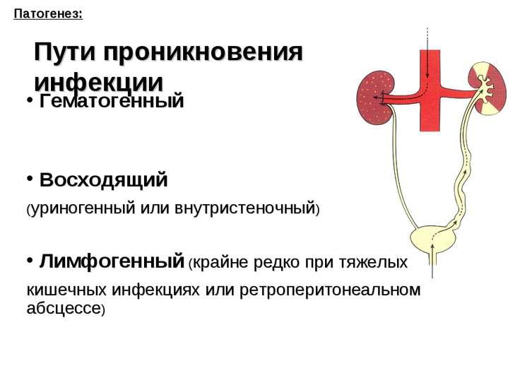 Патогенез: Пути проникновения инфекции Гематогенный Восходящий (уриногенный и...