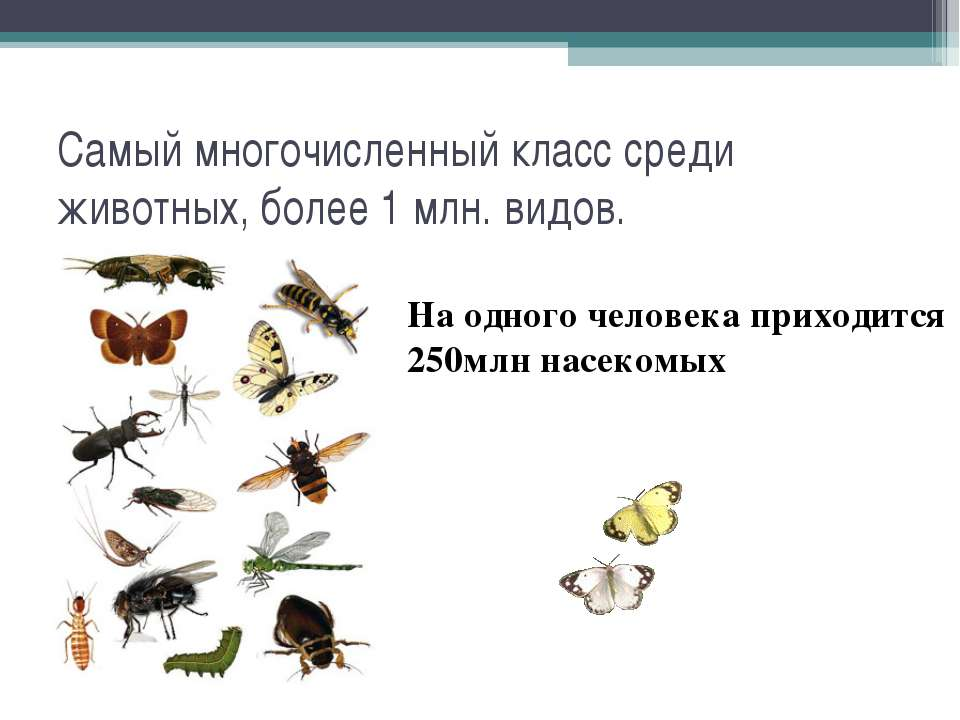 Самый многочисленный класс среди животных, более 1 млн. видов. На одного чело...