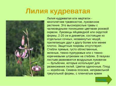 Лилия кудреватая Назад Лилия кудреватая или мартагон - многолетнее травянисто...