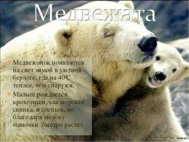 Медвежонок появляется на свет зимой в уютной берлоге, где на 400С теплее, чем...