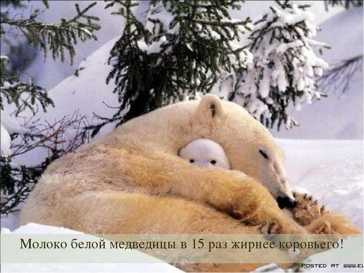 Молоко белой медведицы в 15 раз жирнее коровьего!