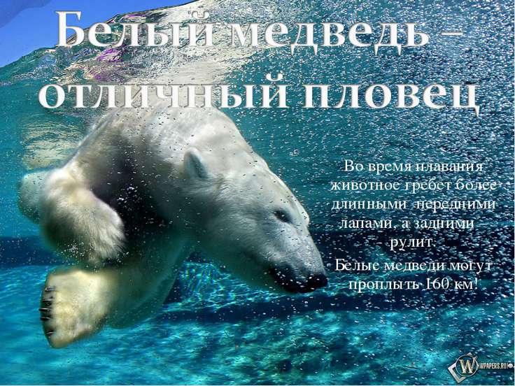 Во время плавания животное гребет более длинными передними лапами, а задними ...