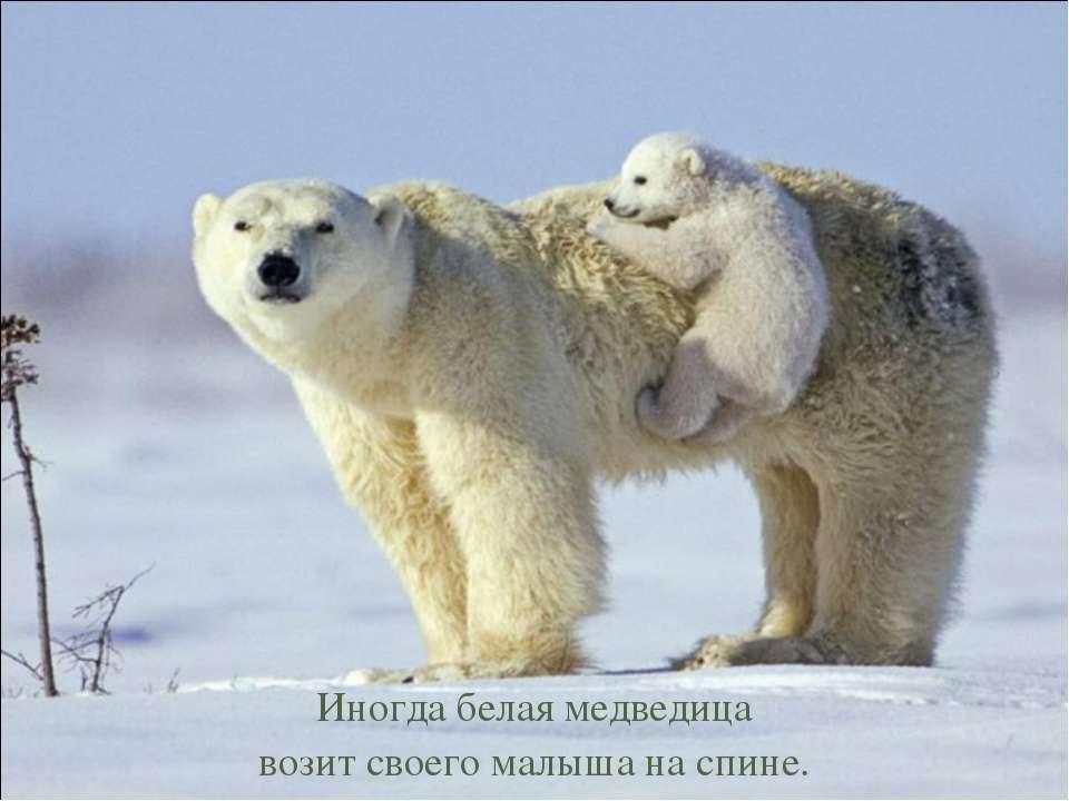 Иногда белая медведица возит своего малыша на спине.