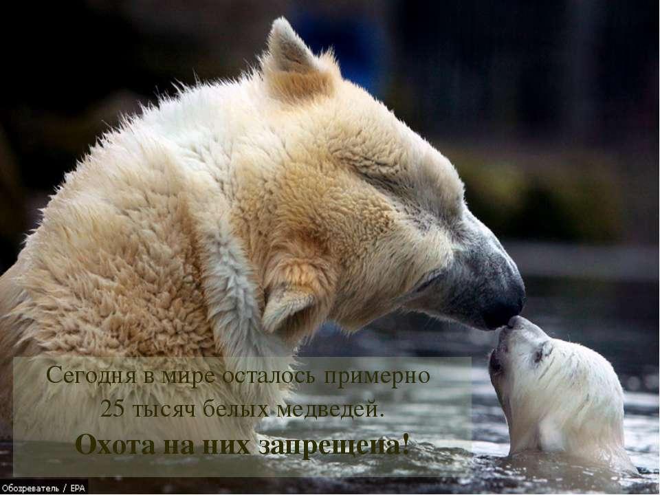 Сегодня в мире осталось примерно 25 тысяч белых медведей. Охота на них запрещ...