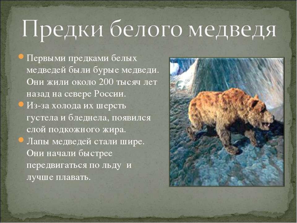 Первыми предками белых медведей были бурые медведи. Они жили около 200 тысяч ...